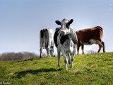 Holstein cattle by Junglegeorge, Photography->Animals gallery