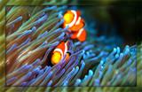 Clowning Around by photoeye68, photography->underwater gallery