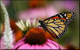 The Monarch Butterfly by tigger3, photography->butterflies gallery