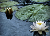 Lily Pond by allisontaylor, Photography->Nature gallery