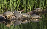 Turtles on a Log by cgaskins, photography->reptiles/amphibians gallery
