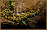 Taking A Nap With Eyes Wide Open by corngrowth, Photography->Reptiles/amphibians gallery
