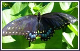 Oklahoma State Butterfly - Papilio Polyxenes by Galatea, Photography->Butterflies gallery