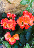 Begonias by Pistos, photography->flowers gallery