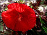 """""""Cranberry Crush"""" Rose Mallow by trixxie17, photography->flowers gallery"""