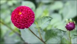 In The Dahlia Garden #14 Little Pompon by LynEve, photography->flowers gallery