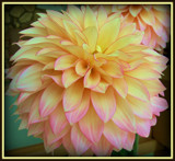 """Dahlia Series - #8 """"Feather Hat"""" by trixxie17, photography->flowers gallery"""