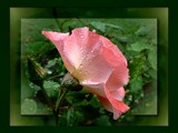Rose in the rain by LynEve, Photography->Flowers gallery