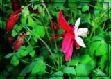 Columbine Bird by trixxie17, photography->flowers gallery