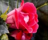 Gloxinia by trixxie17, photography->flowers gallery