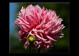 The Beauty Of The Dahlia _ #14 _ In The Pink by tigger3, Photography->Flowers gallery