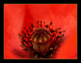 poppy middle :-) by JQ, Photography->Flowers gallery