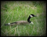 GOOSE # 1 by GIGIBL, photography->birds gallery