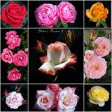 Roseman's Roses Collage - 3 by Roseman_Stan, photography->flowers gallery