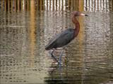 Island Birds V by allisontaylor, Photography->Birds gallery