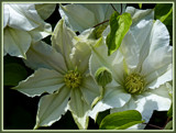 White Clematis by trixxie17, Photography->Flowers gallery