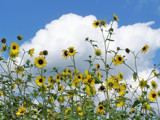 Clouds & Sunflowers by kidder, photography->flowers gallery