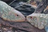 Smooch! by GomekFlorida, photography->reptiles/amphibians gallery