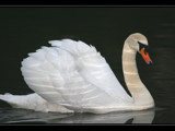 reflections on a swan! by JQ, Photography->Birds gallery