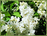 White Lilacs by trixxie17, photography->flowers gallery