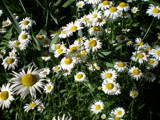 Daisy, Daisy, give me an answer soon by Pistos, Photography->Flowers gallery