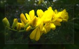 New Zealand Broom by LynEve, photography->flowers gallery