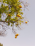 The Orange Tree by lindala, Photography->Flowers gallery