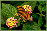 Butterfly 10 of 12 by corngrowth, Photography->Butterflies gallery