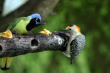 Green Jay and Golden-fronted Woodpecker by LowellTX, Photography->Birds gallery