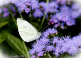 The Cabbage White by tigger3, photography->butterflies gallery