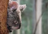 A Shy Koala by Jimbobedsel, photography->animals gallery