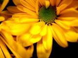 Sunburst by jesusrocks13, Photography->Flowers gallery