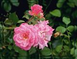 "Floribunda Rose - "" Secret Drift"" by trixxie17, photography->flowers gallery"