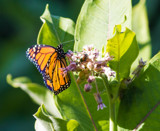 Monarch on Milkweed by Pistos