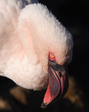 Lessor Flamingo by garrettparkinson, photography->birds gallery