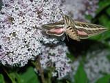 Hummingbird Moth by kidder, photography->butterflies gallery