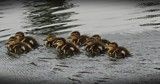 Ducks by picardroe, photography->birds gallery