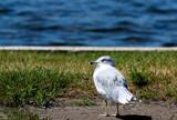 Lake Shore Bird by tigger3, photography->birds gallery