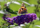 Purple Nector Eater by Pistos, photography->butterflies gallery