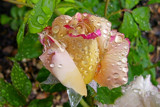 Rose with Water Droplets 1 by gandarva, photography->flowers gallery