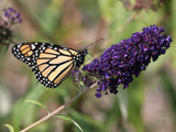 Monarch In Color by rahto, Photography->Butterflies gallery