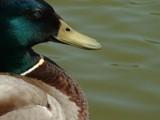 Mallard by heuers, photography->birds gallery