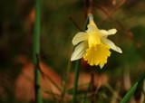 Dydd Gwyl Dewi Hapus #2 by braces, Photography->Flowers gallery