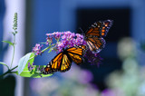 Save these beauties! by wheedance, photography->butterflies gallery