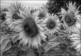 Calling all B/W by LynEve, photography->flowers gallery