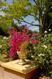 Classic Bougainvlillea by flanno2610, photography->gardens gallery