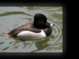 Ducks Unlimited IV by Hottrockin, Photography->Birds gallery