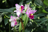 Singapore Orchids (11) by Pistos, photography->flowers gallery