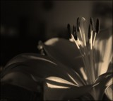 Lily In The Shadows by LynEve, contests->b/w challenge gallery