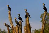 Cormorants by jeenie11, photography->birds gallery